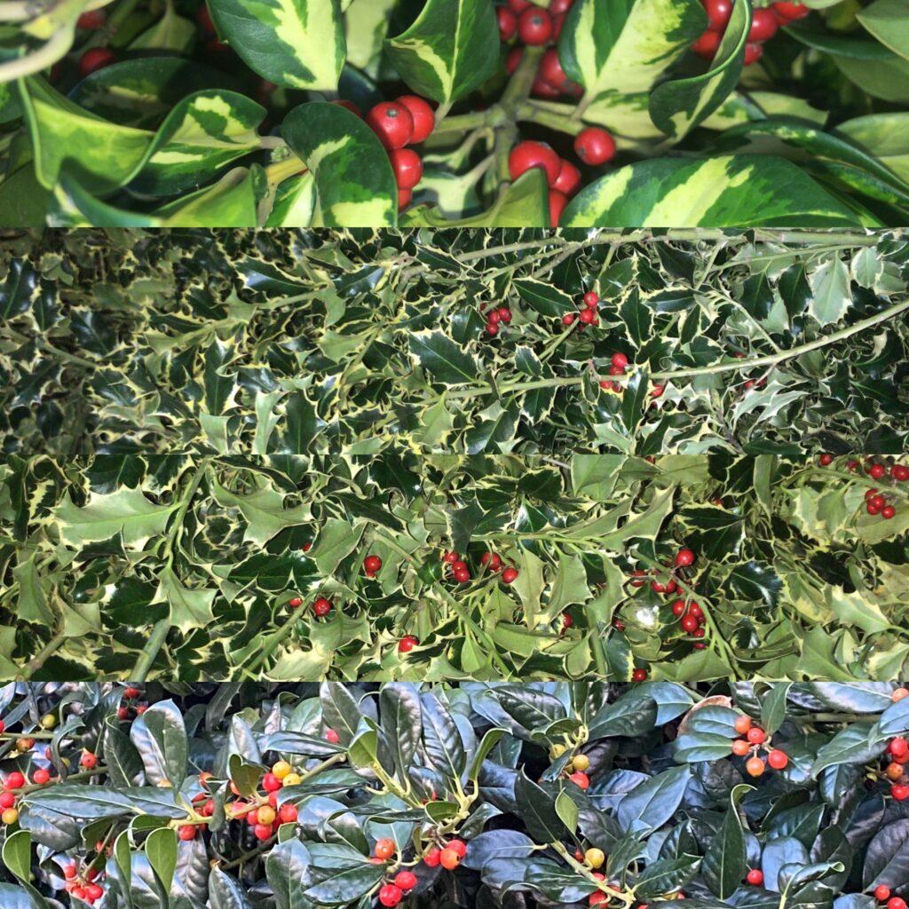 Cinelli Ruscus bio/organic